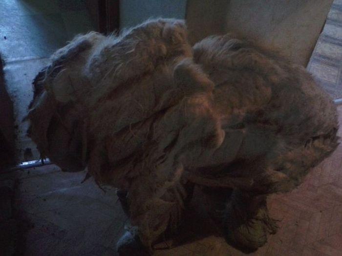 За год собака, запертая в квартире, превратилась в лохматое чудовище (19 фото)