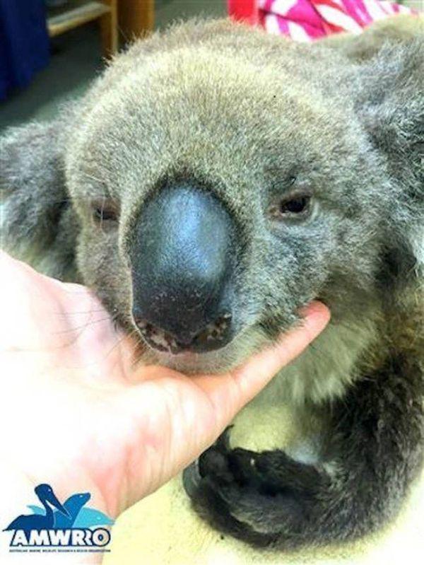 Австралийцы помогают коалам, получившим ожоги (7 фото)