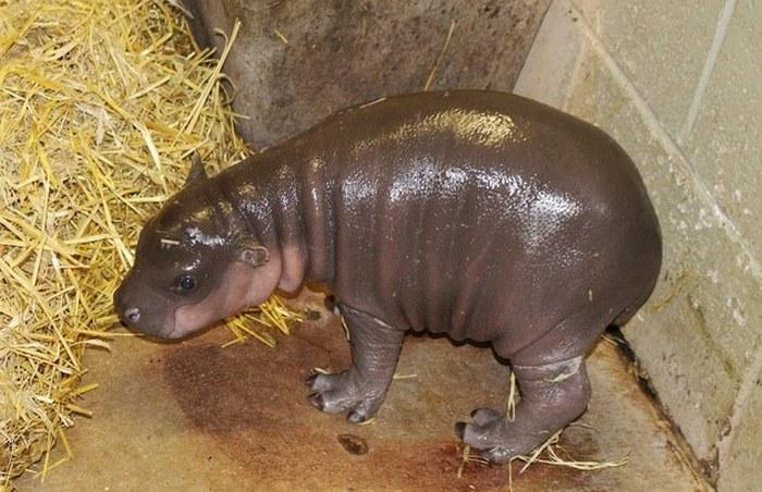 Знакомьтесь, это новорожденный бегемотик (10 фото)