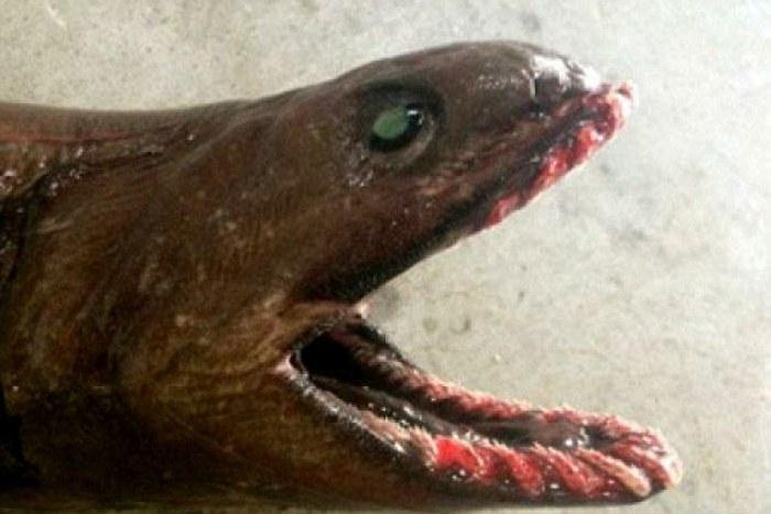 Австралийские рыбаки выловили очень редкую акулу (4 фото)