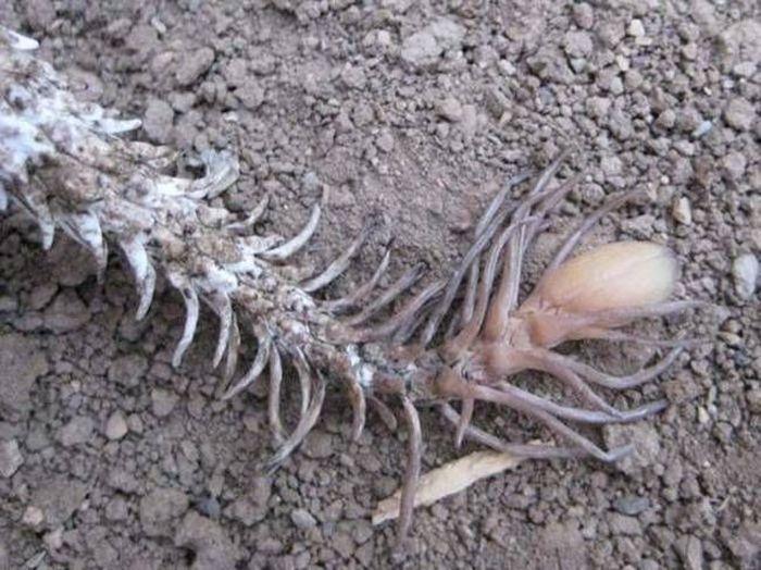 Ложнорогатая гадюка - одно из самых страшных существ на земле (5 фото)