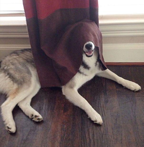 Собаки, которые плохо играют в прятки (25 фото)