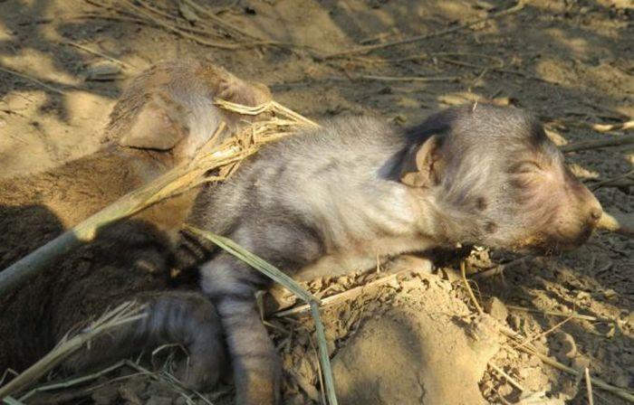 Попавшая в капкан гиена сумела родить щенят (8 фото)