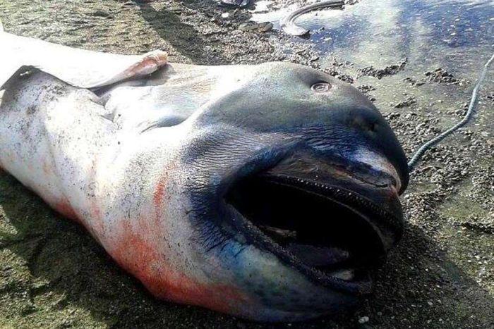 Филиппинские рыбаки выловили редкую пелагическую большеротую акулу (4 фото)