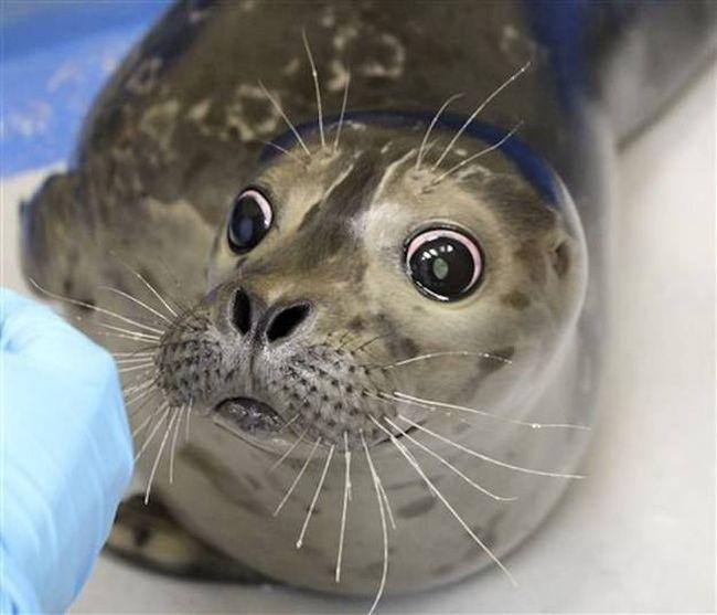 На Аляске спасли слепого детеныша морского котика (4 фото)