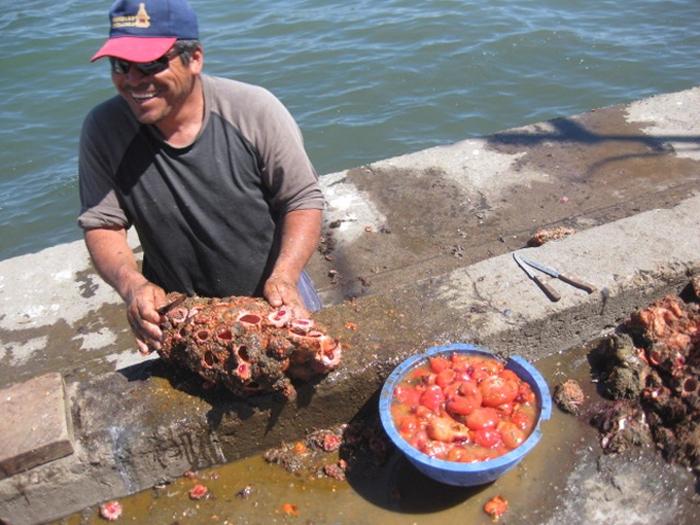 Pyura chilensis - «живой камень» с морского дна (5 фото)