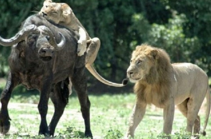 Лев, который всегда думает о продолжении рода (3 фото)