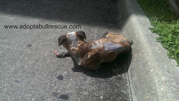 В Майами спасли брошенного на улице больного бульдога (7 фото)