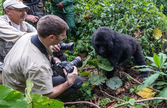 В момент съемки горилла атаковала фотографа (8 фото)