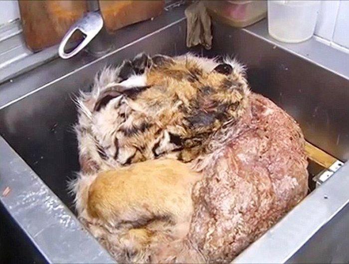 В двух московских ресторанах готовили блюда из мяса тигра и леопарда (7 фото)