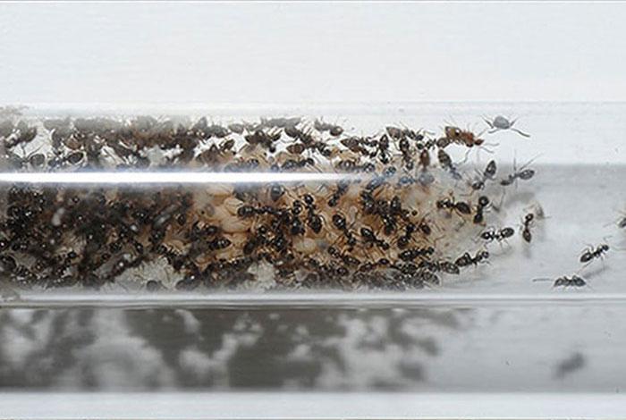 Муравьиная колония в собственном доме (13 фото)