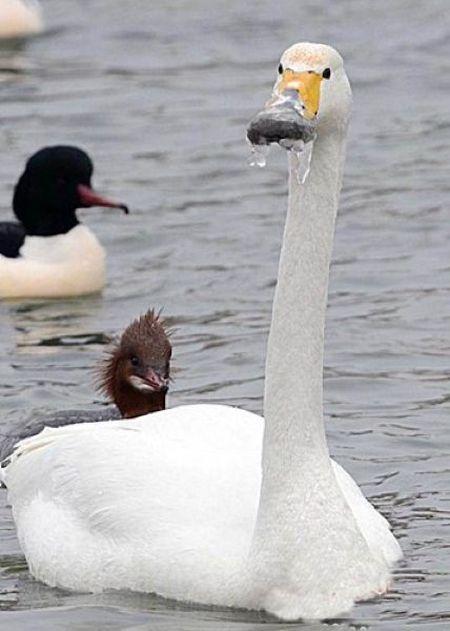 Лебедь, пострадавший от мороза (6 фото)