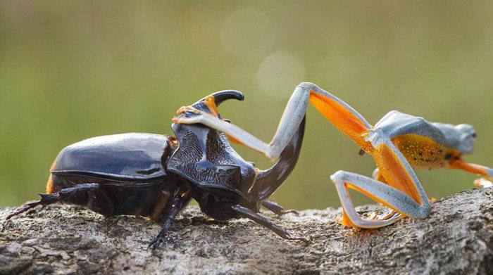 Лягушка устроила родео на гигантском рогатом жуке (9 фото)