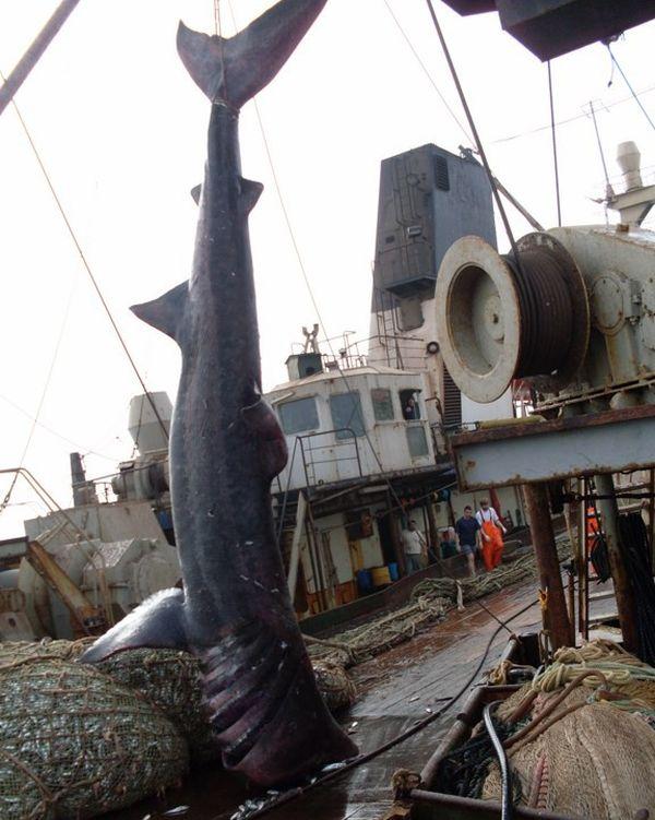 Экзотический улов в сетях рыболовного траулера (8 фото)