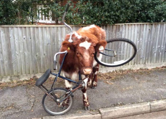 Корова ходила по улице с велосипедом на шее (2 фото)