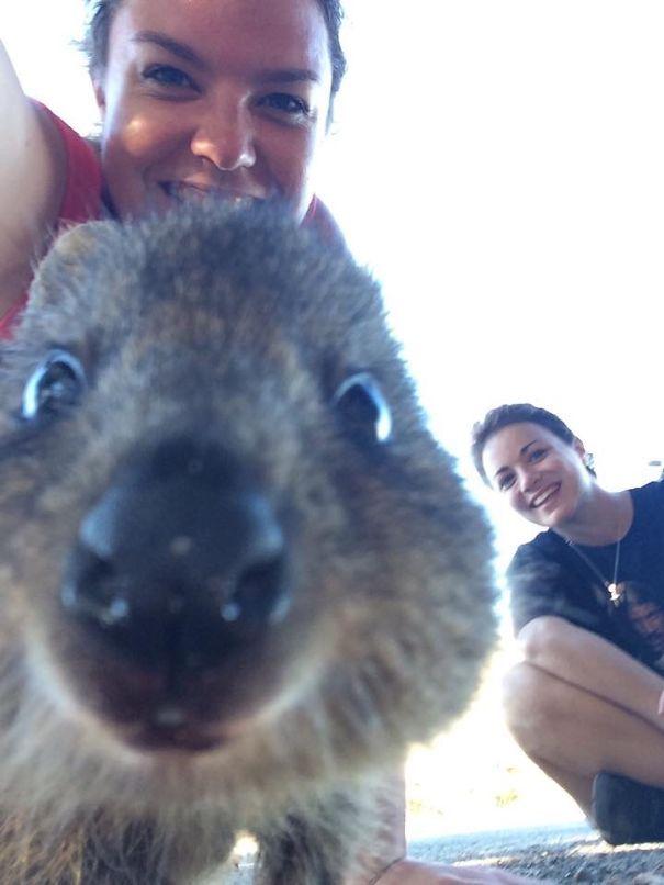 Квокка – животное, которое украсит любое селфи (25 фото)