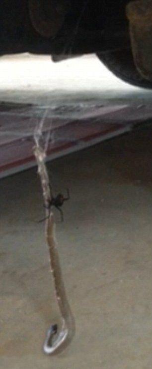 Смертельная схватка красноспинного паука и восточной коричневой змеи (3 фото + видео)