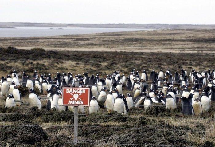 Как заминированное побережье Фолклендских островов стало домом для миллиона пингвинов (4 фото)