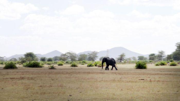 В Кении экскаватор спас слона, угодившего в навозную яму (6 фото + видео)