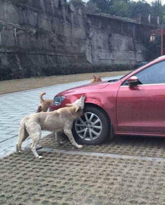 Бездомные собаки попробовали на вкус автомобиль (4 фото)