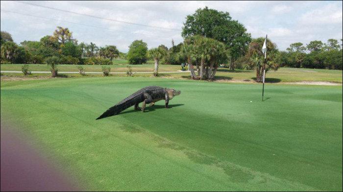 Опасный гость на поле для гольфа (3 фото)
