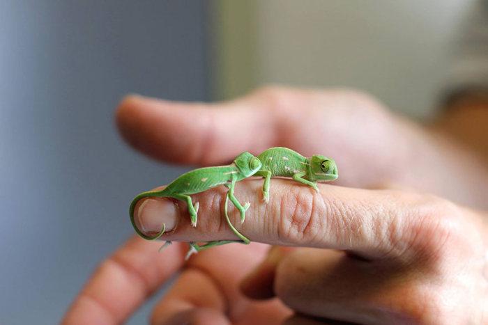Новорожденные хамелеоны из зоопарка Сиднея (11 фото)