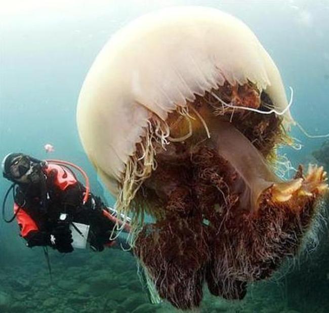 Правда о самой большой медузе в мире (17 фото + видео)