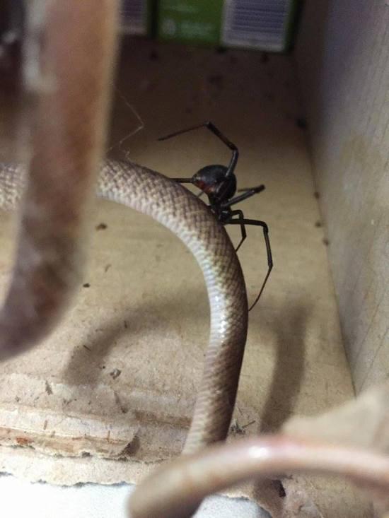 Австралийский паук решил побаловать себя змеиным мясом (3 фото)