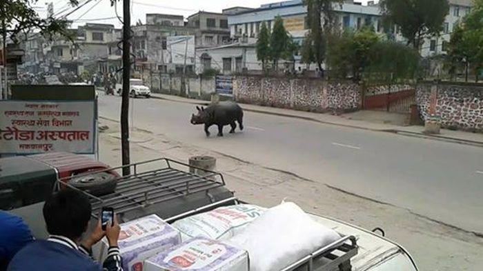 В Непале испуганный носорог убил женщину и ранил 6 человек (4 фото + 2 видео)