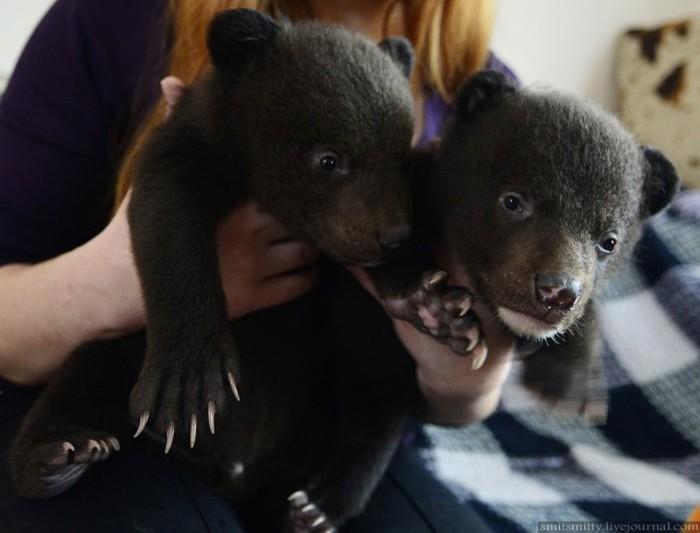 Браконьеры подбросили хабаровским зоозащитникам двух гималайских медвежат (26 фото)
