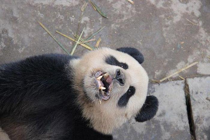 Восьмиминутный половой акт панд вызвал восторг у исследователей (5 фото)