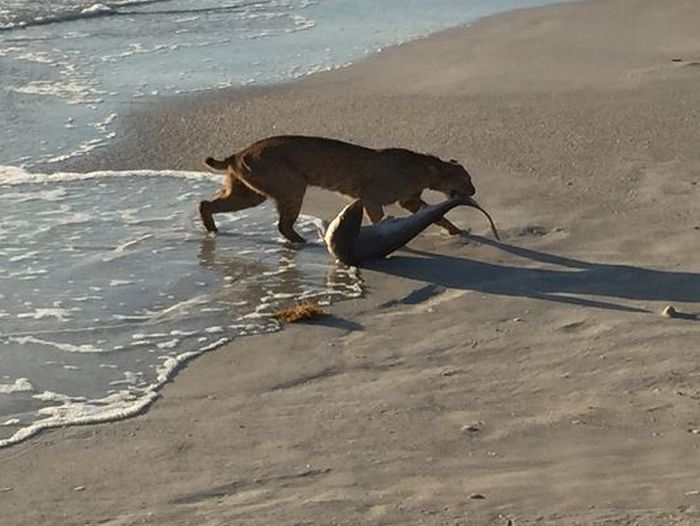 Во Флориде рысь выловила акулу из океана (2 фото)