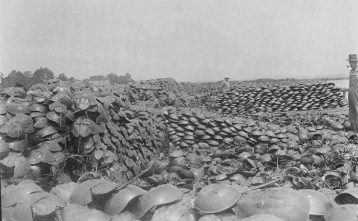 Бесконтрольный отлов мечехвостов в первой половине прошлого века (4 фото)