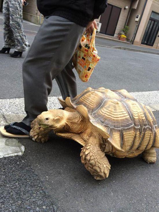Пожилой японец выгуливает свое экзотическое домашнее животное (4 фото)