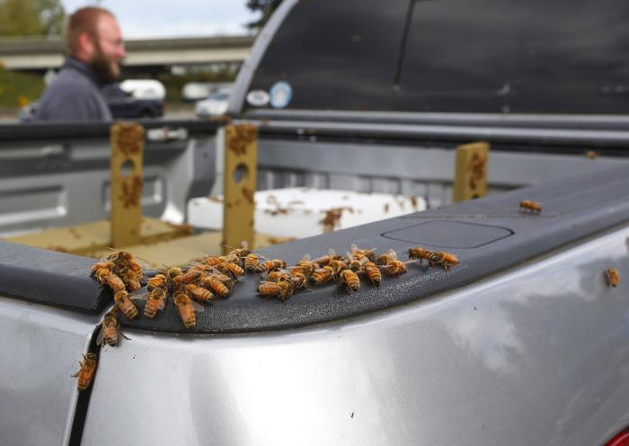 Под Сиэтлом перевернулся автомобиль, перевозивший 44 миллиона пчел (11 фото)