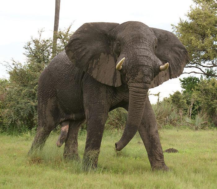 Слон насмерть затоптал охотника, выслеживавшего его в течение 5 часов (5 фото)