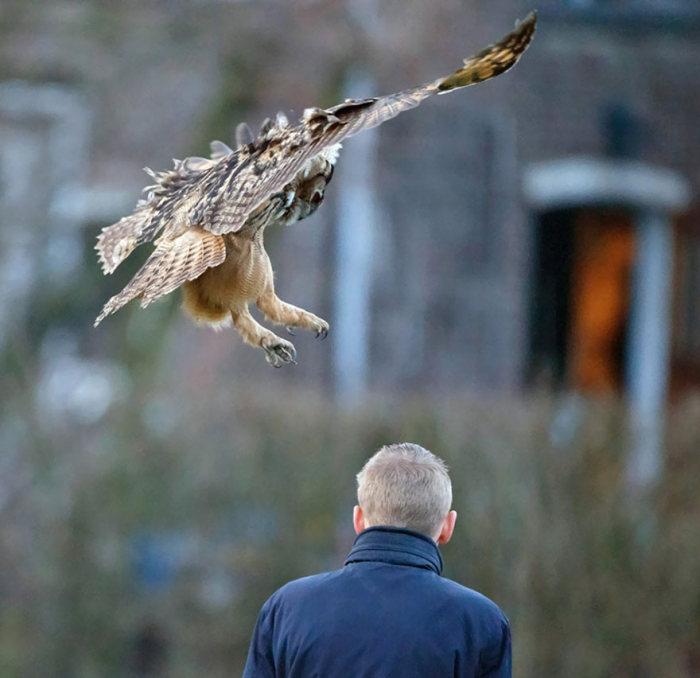 Сова, которая любит приземляться на голову человека (8 фото + видео)