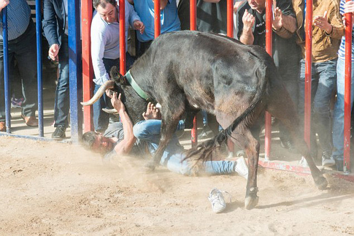 Почему не стоит дразнить быков (5 фото)