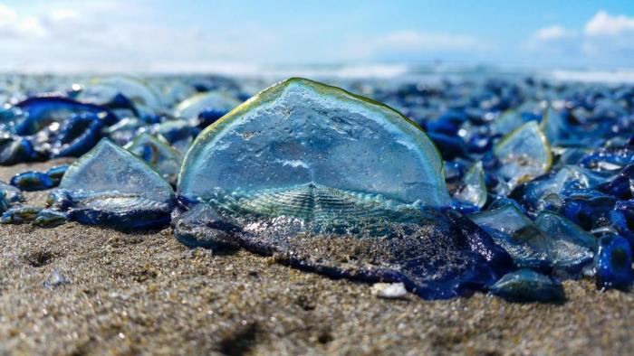 Медузы Velella velella («пурпурные моряки») заполонили побережье Калифорнии (5 фото)