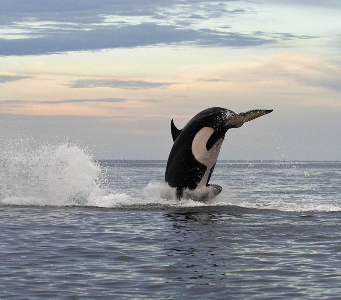 8-тонная косатка подражает дельфину (4 фото)