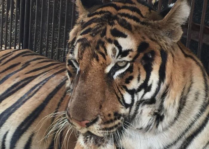 История спасения двух хищных кошек из плена кочующего цирка (6 фото)