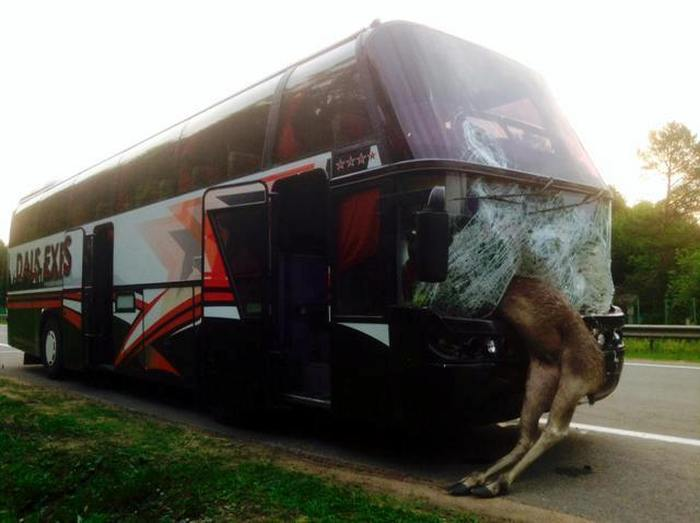 Самые запоминающиеся аварии с участием животных в Беларуси (13 фото + 5 видео)