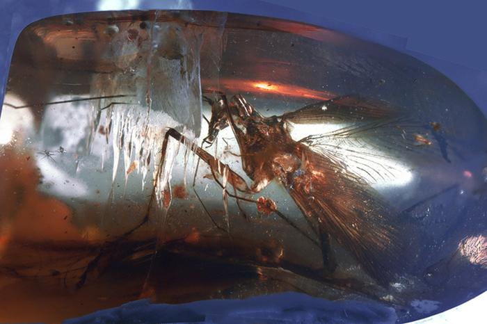 Хищный древний таракан из янтаря (2 фото)