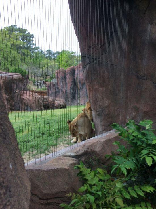 Справившая нужду львица нарушила покой льва (4 фото)