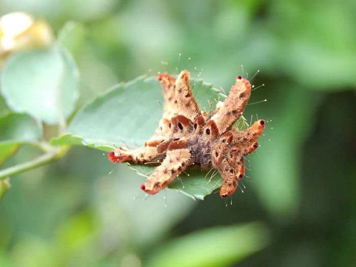 Из отвратительных гусениц в прекрасные бабочки (36 фото)