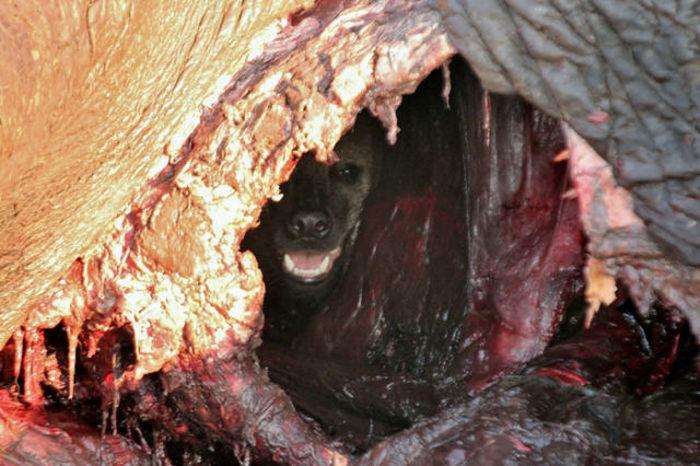 Находчивая гиена спаслась ото львов (5 фото)