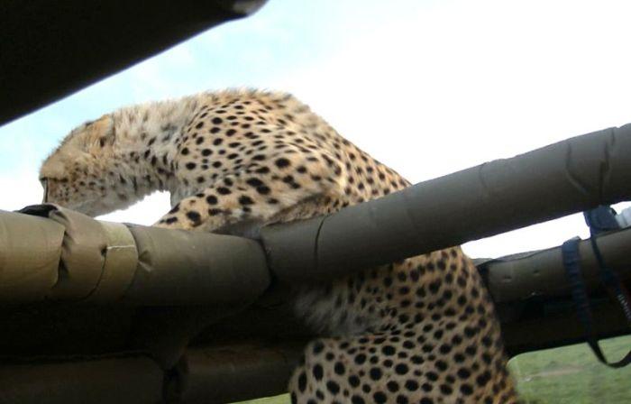 В Кении гепард упал в салон туристического автомобиля (10 фото)