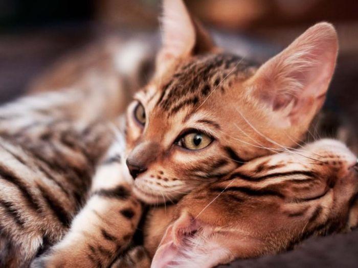 Что заставляет кошек мурлыкать (3 фото)