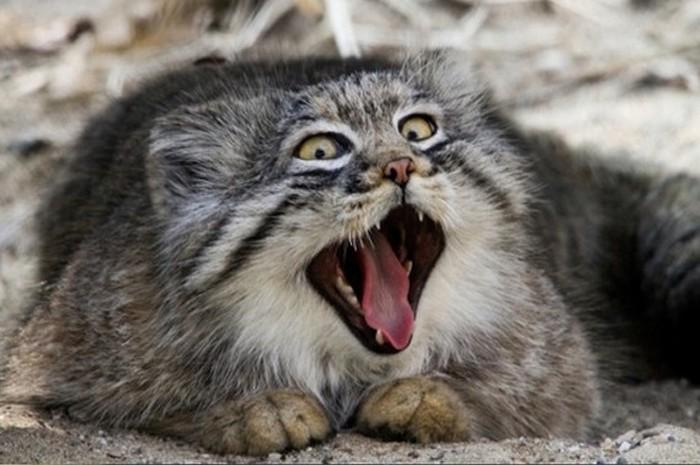 Зевающий манул – милота дня (5 фото)