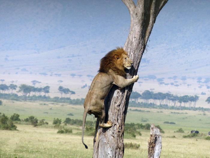 Спасаясь от собственного завтрака, лев залез на дерево (5 фото)